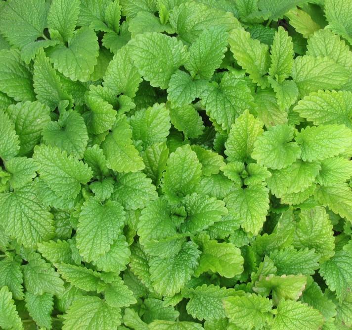 herb-1