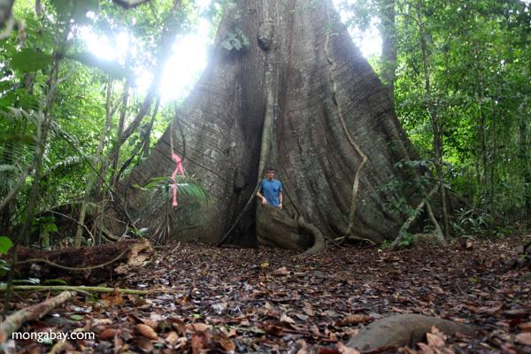 Ficus4