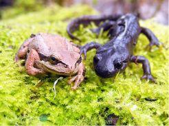 frogy salamander