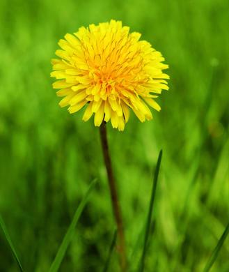 dandelion-root-329_0